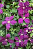 Clematis with purple flowers in the summer garden, background Royalty Free Stock Photo