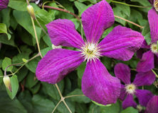 Clematis with purple flowers in the summer garden Royalty Free Stock Photography