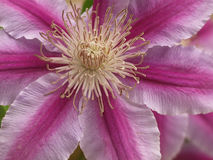 Clematis purple-pink Stock Photography