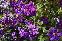 Clematis purple and pink. Summer curly flower garden, purple and pink Clematis Royalty Free Stock Photos