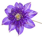 Clematis with rain drops stock image