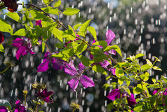 Clematis in the rain Royalty Free Stock Photography