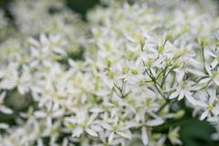 Clematis recta, erect clematis or ground virginsbower white flowers. Macro royalty free stock photography