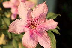 Clematis rosado Fotos de archivo libres de regalías