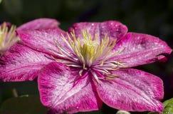 Clematis rose Photo libre de droits