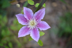 Clematis roxo Fotos de Stock Royalty Free