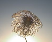 Clematis seedhead. Backlit by setting sun Royalty Free Stock Images