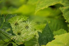 Clematis Seedpods Stock Photography