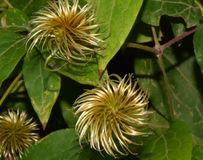 Clematis seeds Stock Images