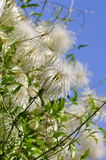 Clematis seeds Stock Photo