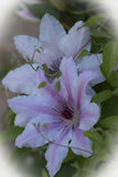 Clematis in the springtime. If love spring when the flowers bloom putting on a beautiful color show Royalty Free Stock Image