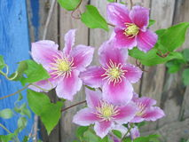 Clematis - Stock Flower Pictures Royalty Free Stock Image