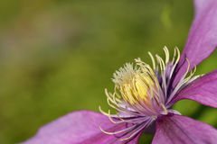 Clematis in summer Royalty Free Stock Images