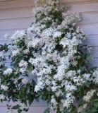 Clematis Terniflora Стоковое Изображение