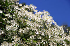 Clematis Terniflora - white. Sweet Autumn Clematis - sweet-scented perennial climbing vines with thousands of small white showy flowers late Summer through Fall stock photos