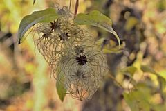 Clematis tuft. The tuft of the multiple fruits of clematis with a few leaves on the top of the branch stock photography