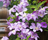 Clematis vine. Abundant blossoms on a clematis vine after a rain shower Stock Photography