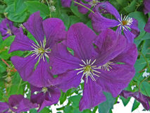 Clematis Vine. My clematis produces great flowers every year. They look amazing in this photo Royalty Free Stock Image
