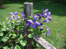 Clematis Vine on Fence. Pretty, purple clematis blooming on rustic fence post Royalty Free Stock Photography