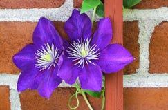 Clematis vine on trellis. Vibrant blue and purple perennial climbing Jackmanii set against brown brick wall Stock Photos