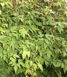 Clematis vines. Green clematis vines braided wall Stock Photos