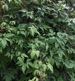 Clematis vines. Green clematis vines braided wall Royalty Free Stock Image