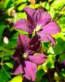 Clematis viola scuro Etoile Violette Fotografia Stock Libera da Diritti