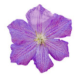 Clematis violet flower, Queen of Climbers, isolated, close up Stock Photo