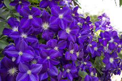 Clematis violet flowers. Clematis the violet curling flower with green leaves Stock Images