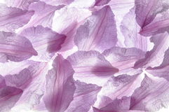 Clematis violet petals Royalty Free Stock Photography