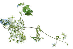 Clematis virginiana Wildflower obraz stock