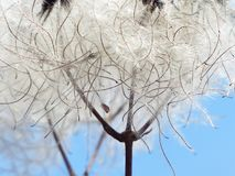 Clematis Vitalba, Pods, Soft Royalty Free Stock Photos