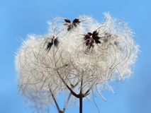 Clematis Vitalba, Pods, Soft Royalty Free Stock Images