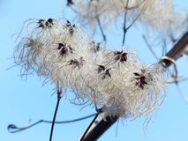 Clematis Vitalba, Pods, Soft Royalty Free Stock Image