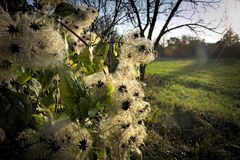 Clematis vitalba at sunset Stock Image