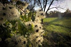 Clematis vitalba at sunset. Seeds of Clematis vitalba in sunbeams of setting sun Stock Image
