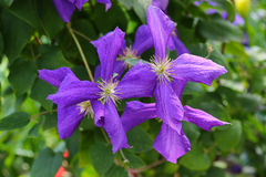 Clematis viticella (Polish Spirit) purple flower in the garden Royalty Free Stock Image