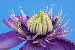 Clematis, Vyvyan Pennell. On a blue background Royalty Free Stock Image