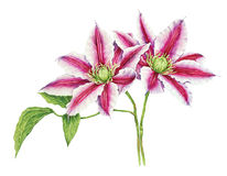 Clematis watercolor. On white background Royalty Free Stock Image