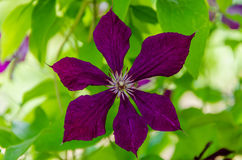 Clematis well blooms. It is wonderful to look at the blossoming blue clematis in the summer Royalty Free Stock Images