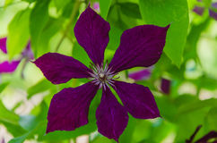 Clematis well blooms. It is wonderful to look at the blossoming blue clematis in the summer Royalty Free Stock Photos