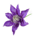 Clematis on white. Violet clematis on white background Royalty Free Stock Image