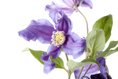 Clematis on white background Stock Images