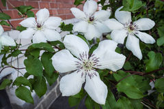 Clematis with white flowers in the summer garden Stock Photo