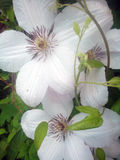 Clematis White. Wide white flowers of Clematis x jackmanii Stock Photography