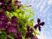 Clematis y el cielo Foto de archivo libre de regalías