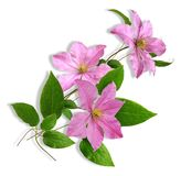 Clematis3 Stock Image