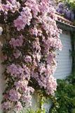 clematisblomningmontana rosa fjäder Arkivbild