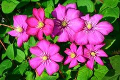 Clematises in garden Stock Image