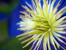 clematismakro Royaltyfria Bilder